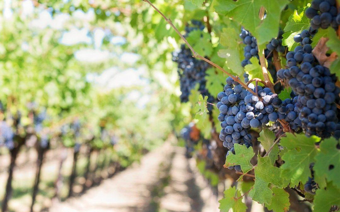 Alle radici del vino: scienziati nei vigneti per seguire i percorsi dell'acqua